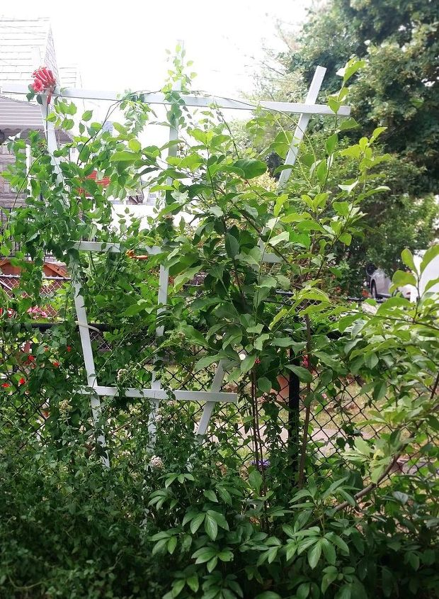 spruce up your vines creepers with an easy dyi fan trellis, gardening, homesteading, outdoor living, woodworking projects, Can t wait for the trumpet to bloom