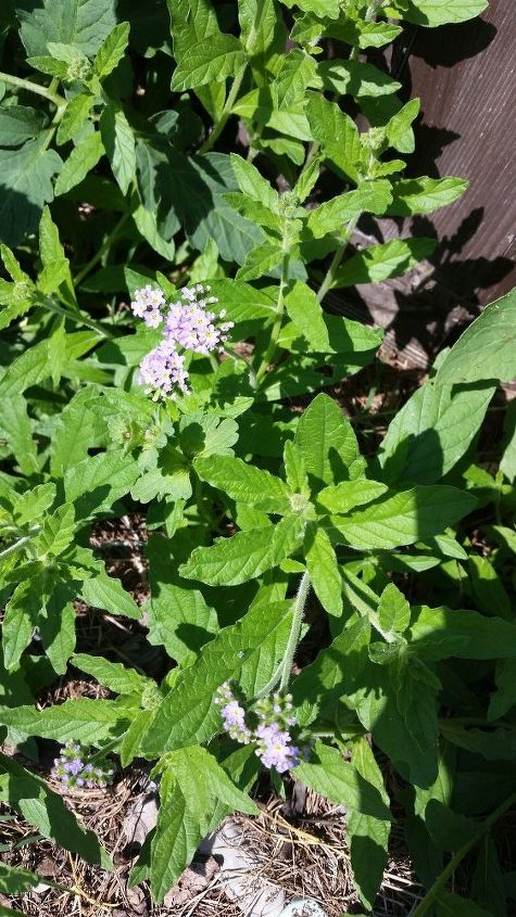 q flower or weed , gardening, plant id, Photo 1 of 3