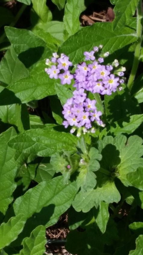 q flower or weed , gardening, plant id, Photo 3 of 3