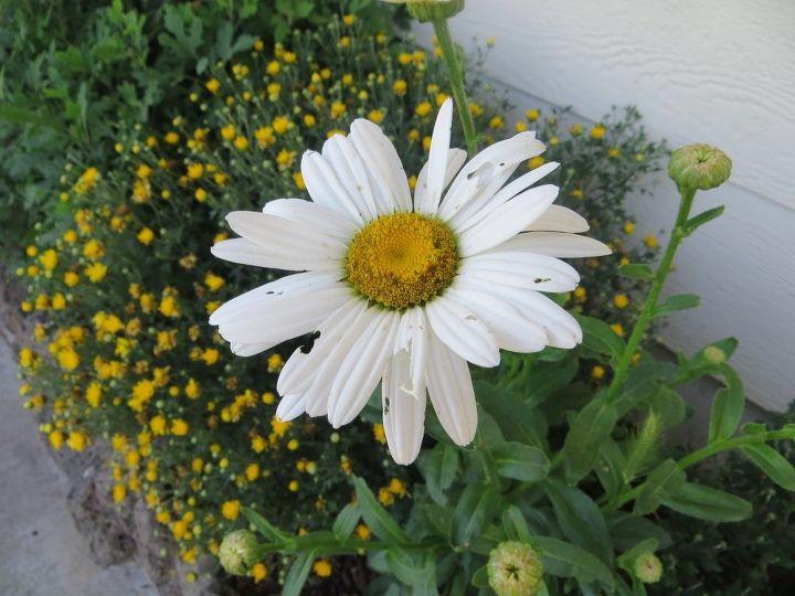 q get rid of earwigs , gardening, gardening pests, pest control