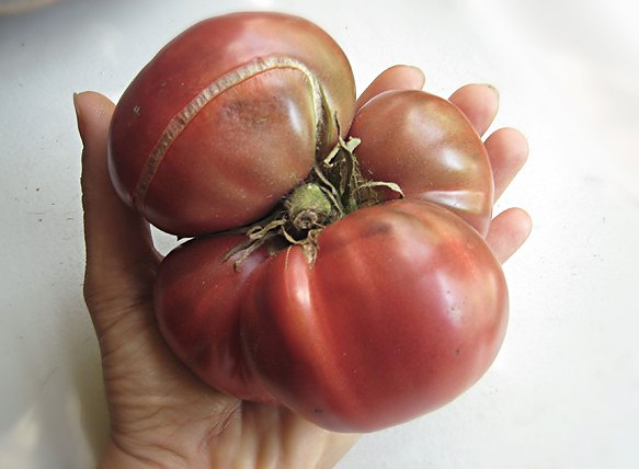Last Years Beefsteak Tomato : Quite a Beauty!