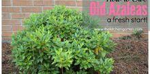 how to refresh old azaleas , gardening, how to