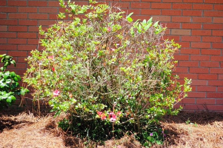 How To Refresh Old Azaleas Hometalk