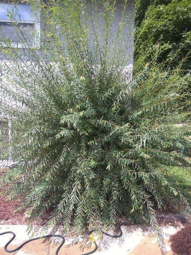 q weird looking overgrown bush or shrub, gardening, plant id