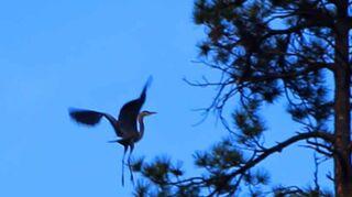 , Heron mid air landing