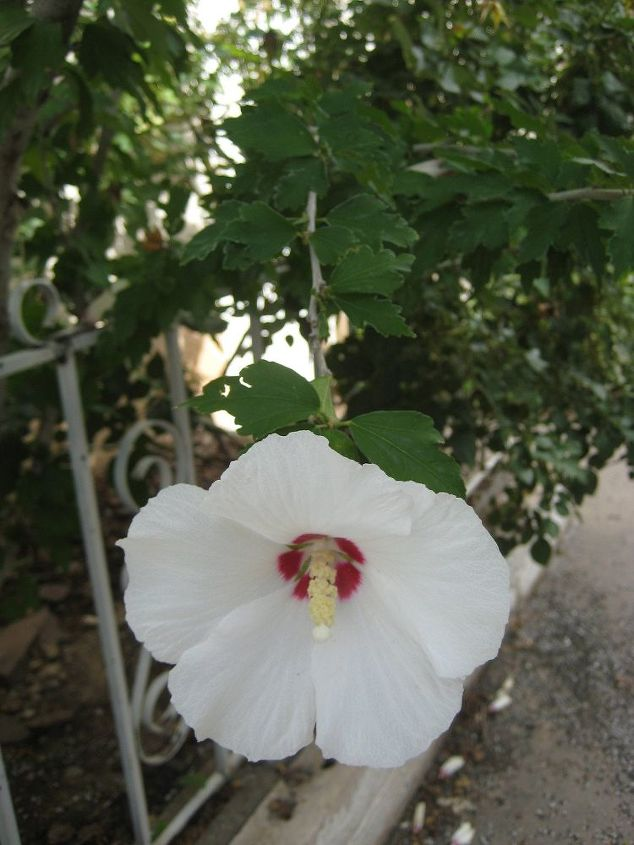 q the rose of sharon hibiscus syriacus no color, flowers, gardening, hibiscus