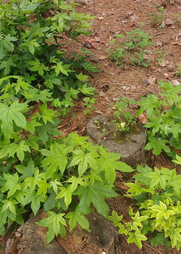 q a few yrs ago i had a large sweetgum tree cut down because of all the, gardening, plant care