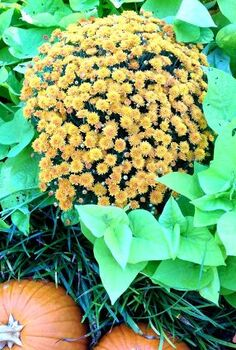 complete fall container garden guide in three easy steps, container gardening, gardening, how to, plant care, seasonal holiday decor