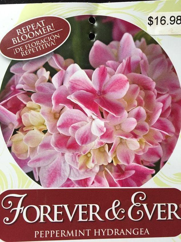 q peppermint hydrangea won t bloom, gardening, hydrangea, plant care