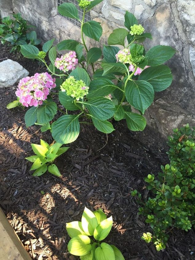 q peppermint hydrangea won t bloom, gardening, hydrangea, plant care, In June