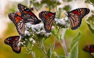 q ohio wants to help the monarch butterflies, gardening, pets animals, Imagine this in your yard