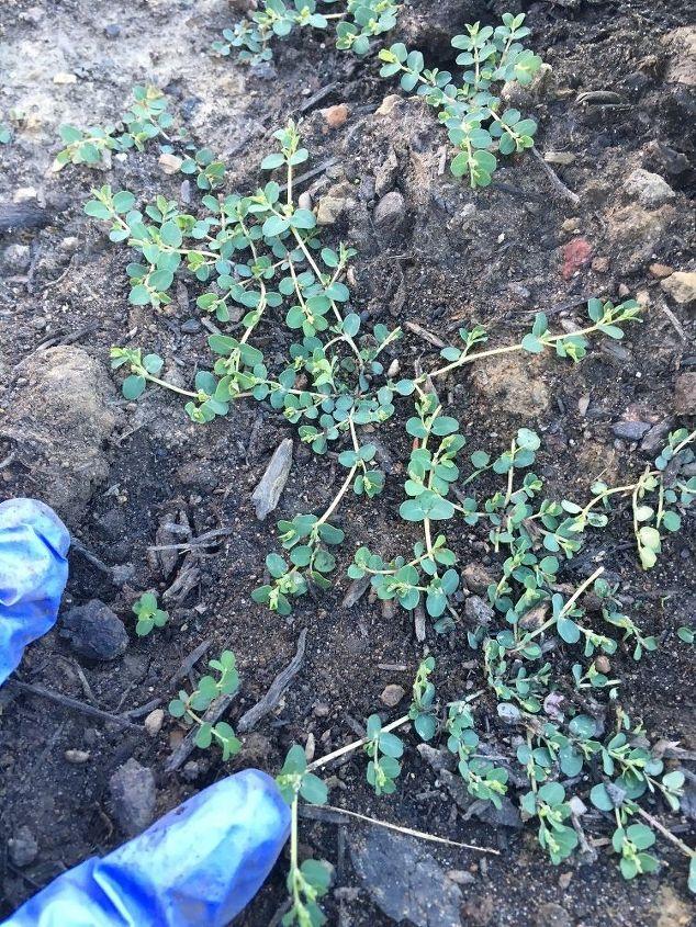 q weed identification, gardening, gardening pests, plant id