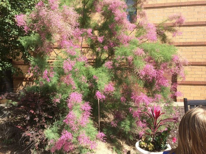 q what is the name of this bush , gardening, plant id, I saw this bush in mpls in July it was at least 6 5 ft tall It looks like a mature plant