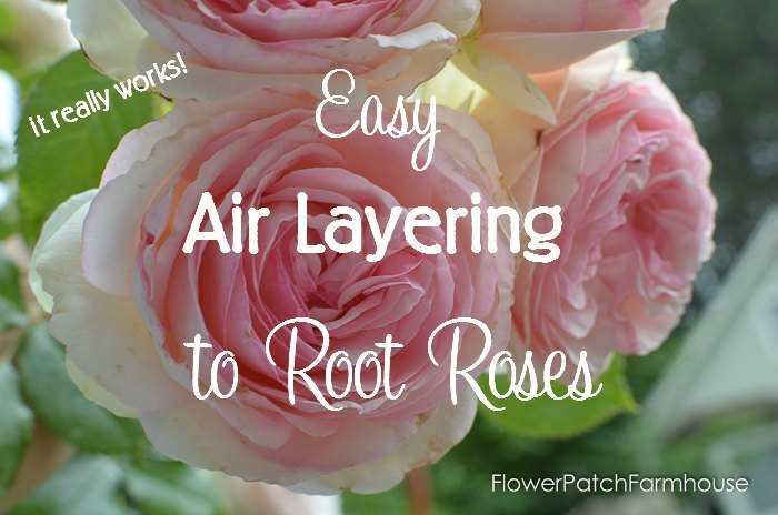 easy air layering to propagate roses faster than cuttings, flowers, gardening, plant care