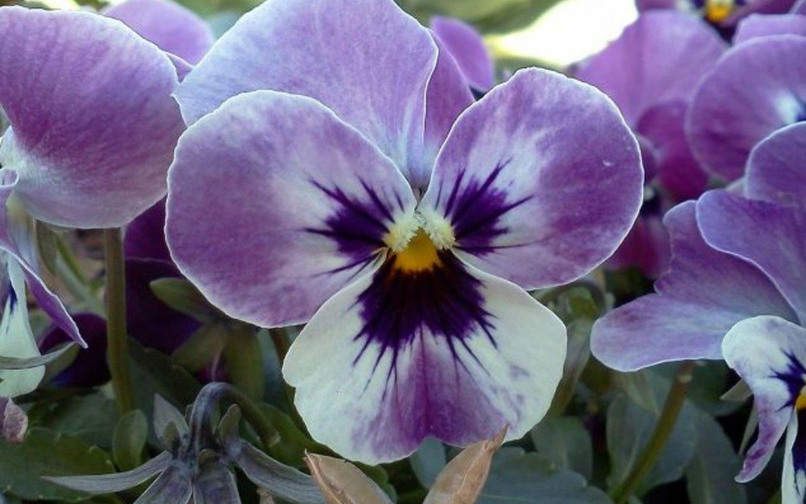 s the top 15 fall flowers everyone is loving this season, gardening, 15 Violas