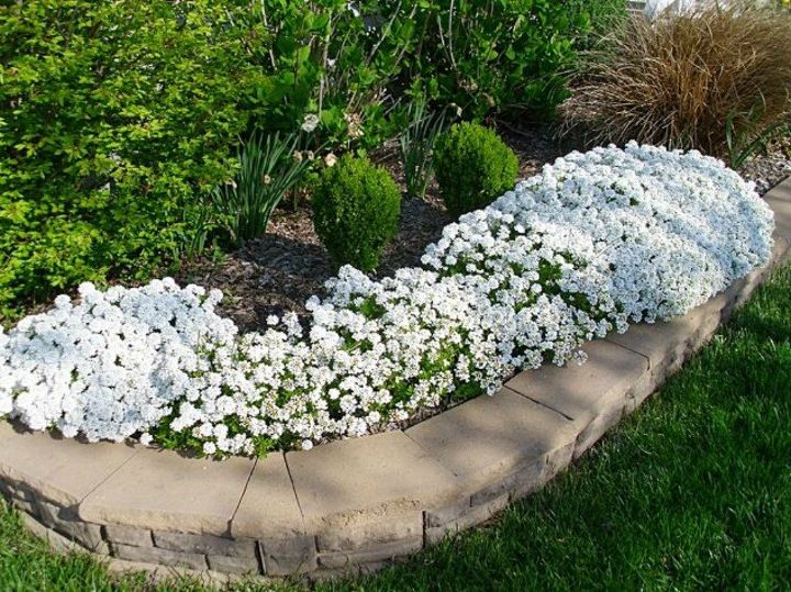 s the top 15 fall flowers everyone is loving this season, gardening, 14 Candytuft