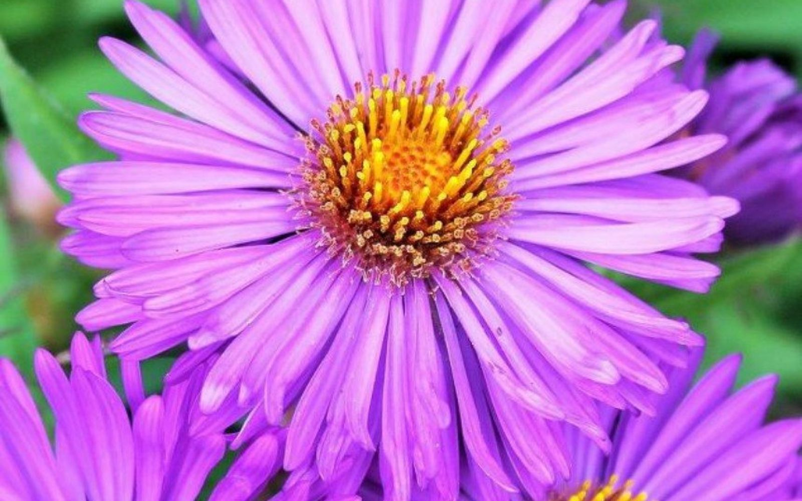 s the top 15 fall flowers everyone is loving this season, gardening, 13 Fall Asters