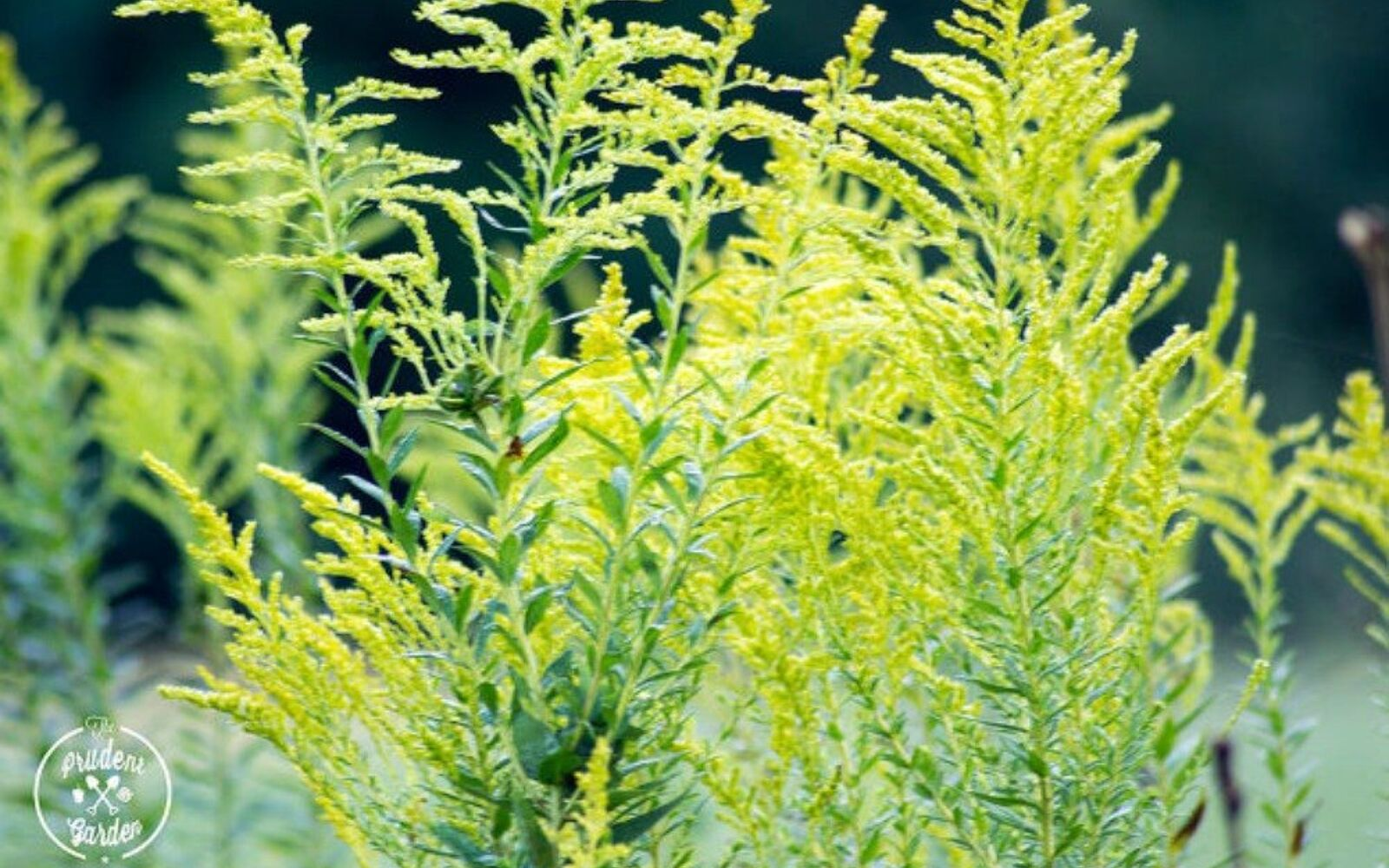 s the top 15 fall flowers everyone is loving this season, gardening, 10 Goldenrod