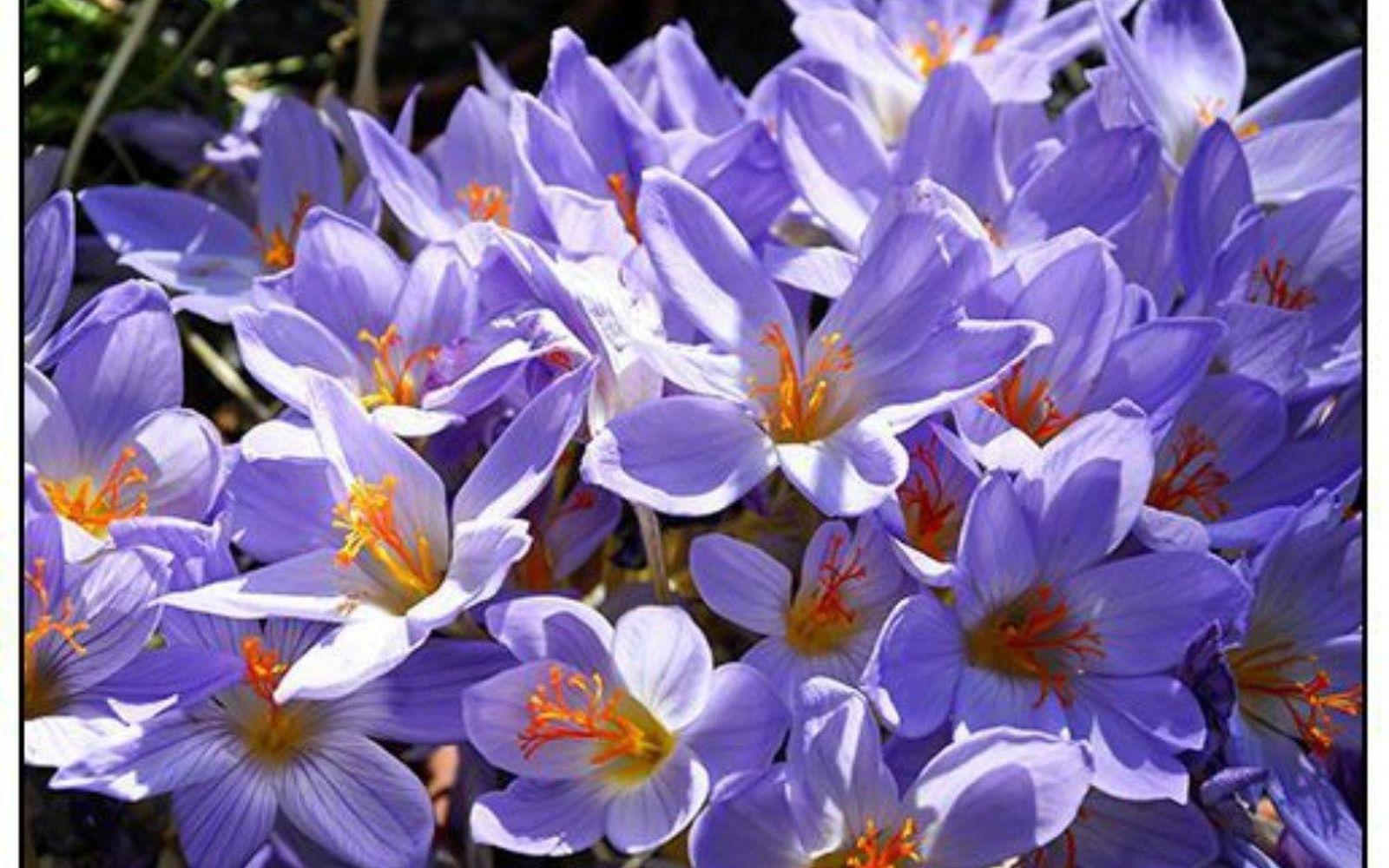 s the top 15 fall flowers everyone is loving this season, gardening, 7 Fall Crocus
