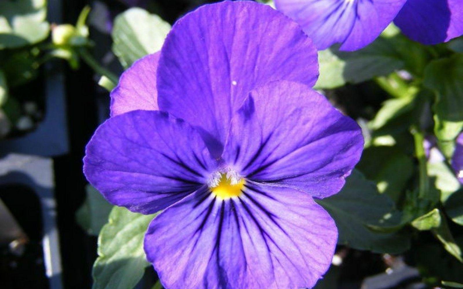s the top 15 fall flowers everyone is loving this season, gardening, 5 Pansies