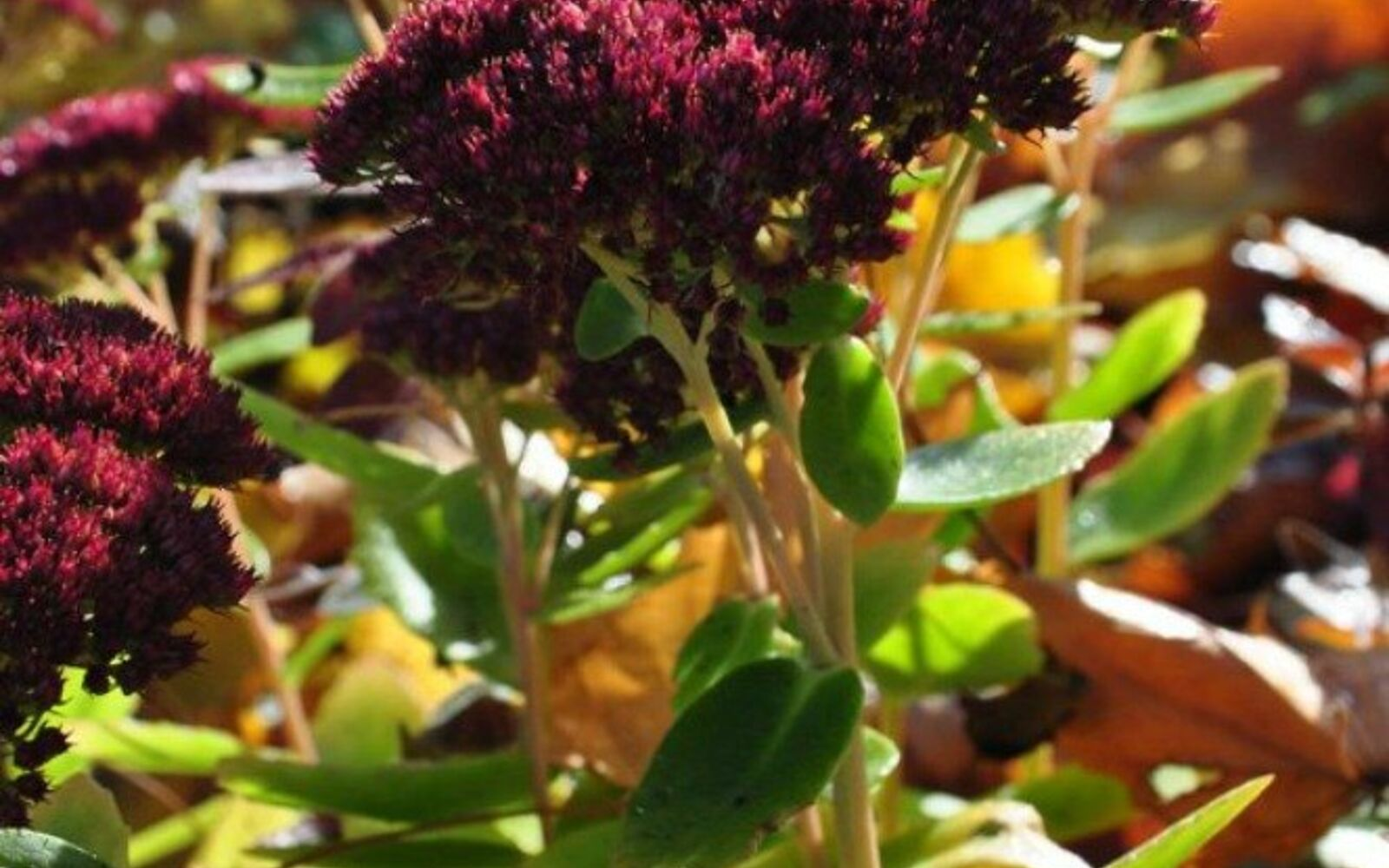 s the top 15 fall flowers everyone is loving this season, gardening, 4 Sedum