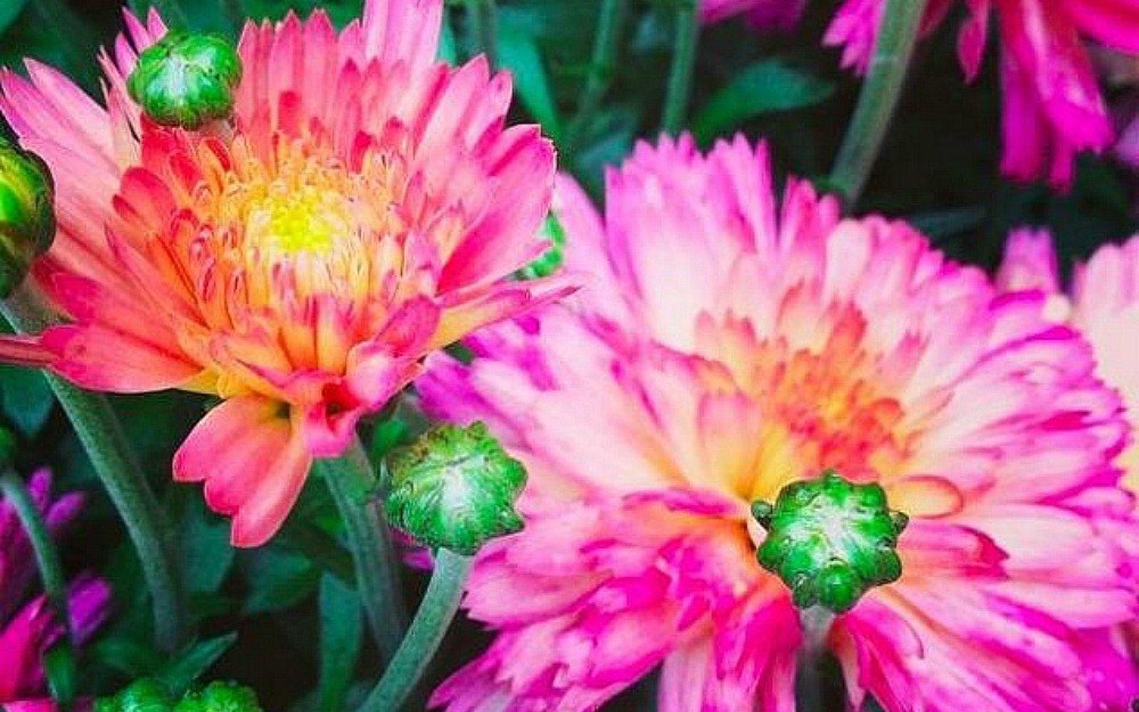 s the top 15 fall flowers everyone is loving this season, gardening, 1 Chrysanthemums