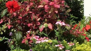 , Variegated leaves hibiscus