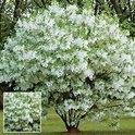q grancy graybeard, flowers, gardening, landscape