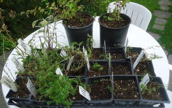 Dividing Containerized Herbs in Fall