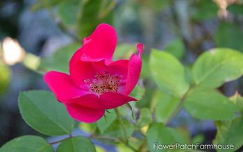 Potting Up Your Newly Rooted Rose