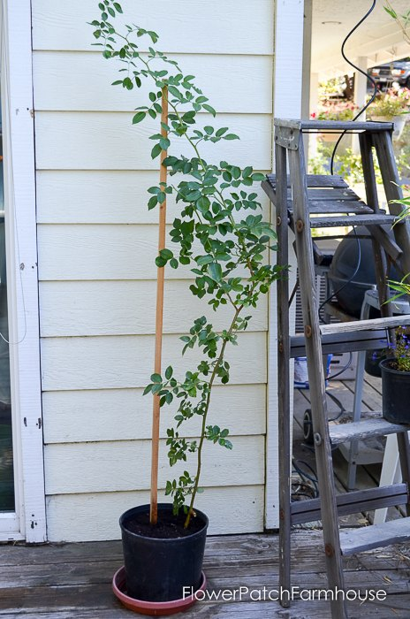 potting up your newly rooted rose, flowers, gardening
