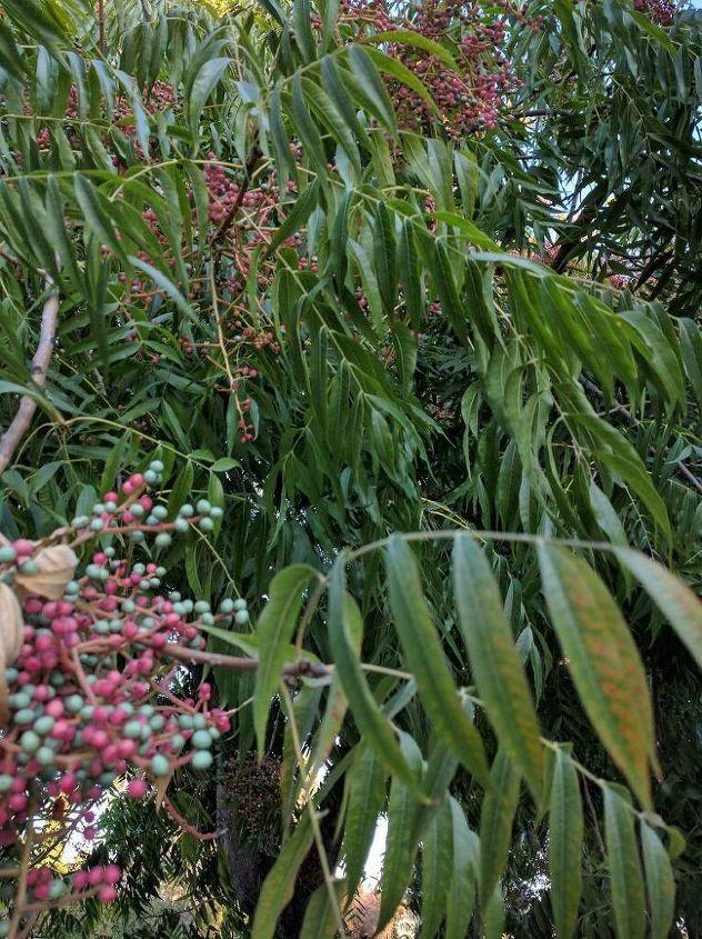 q please help identify this tree, gardening, plant id
