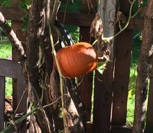 q what can i do with real pumpkins for decorating , halloween decorations, seasonal holiday decor, About 5 ft off the ground headed next door
