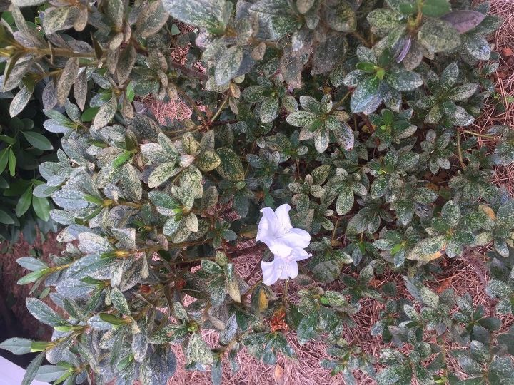 q what has infested my azaleas, gardening, plant care