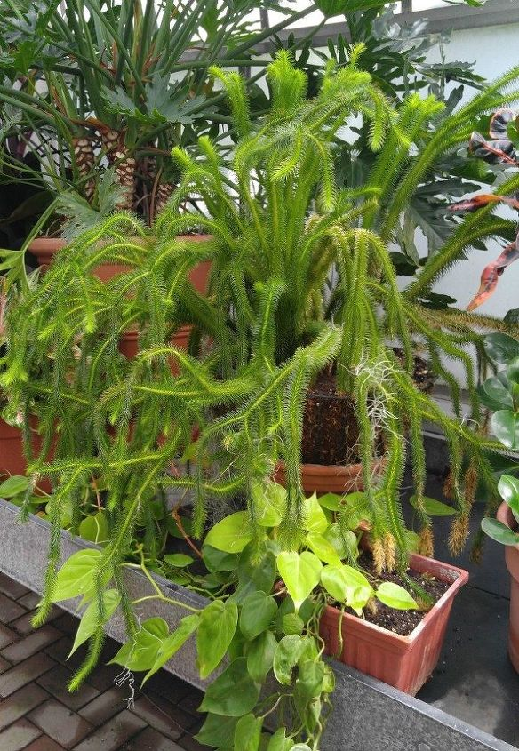 q does anyone know what this large plant is called, gardening, plant id