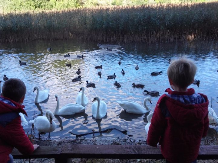 Swans and ducks in Emo lake. Autumn afternoon