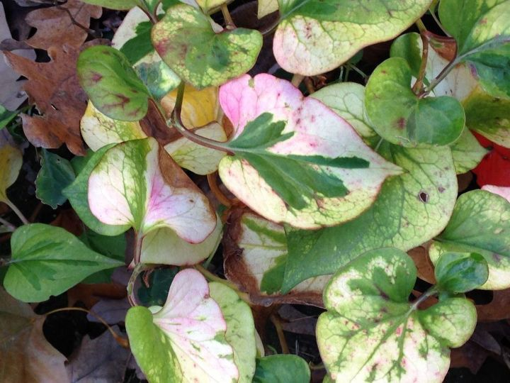 q what lint if plant is this , gardening, plant id, Do you know what kind of plant this It is a very invasive perennial The leaf colors are beautiful