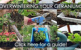 overwintering geraniums method