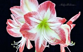 A Holiday Guide To Gifting & Growing Amaryllis