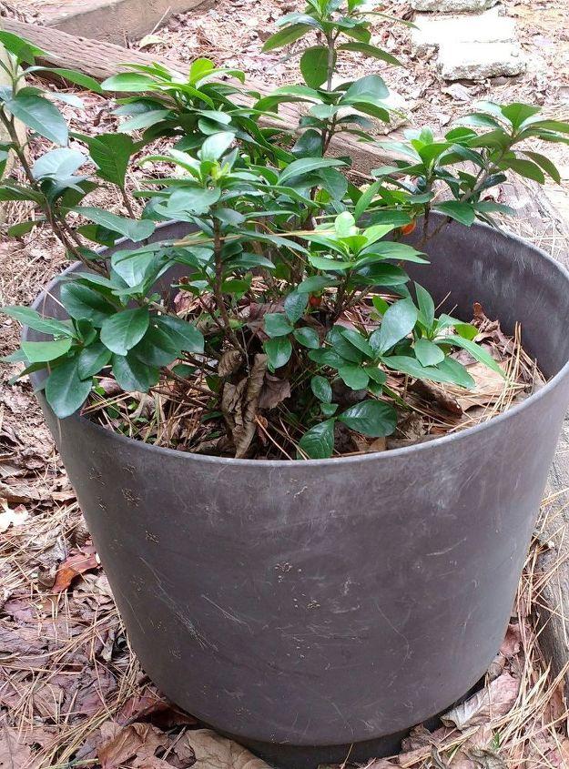Can I transplant this gardenia now? | Hometalk