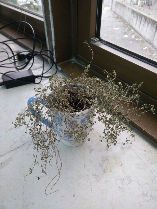 q can this thyme be brought back to life