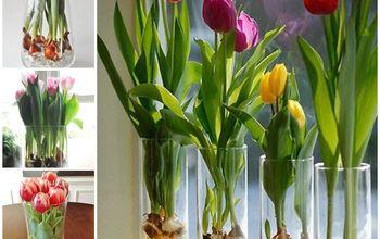 year round tulips