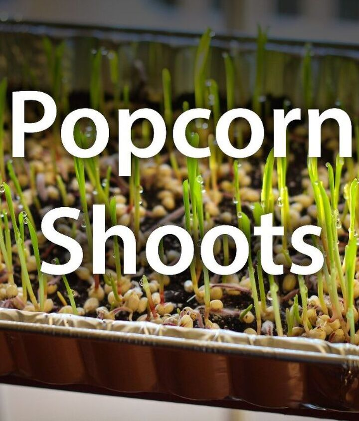 how to grow popcorn shoots, how to