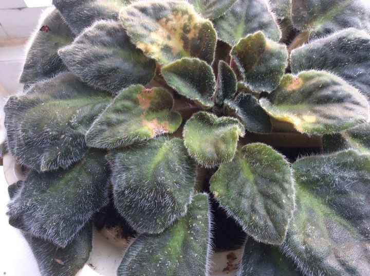 My African Violets Have Tiny White Pest Any Ideas How To Cure Hometalk