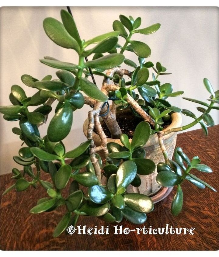 how to prune jade plants to make more jade plants, gardening, how to