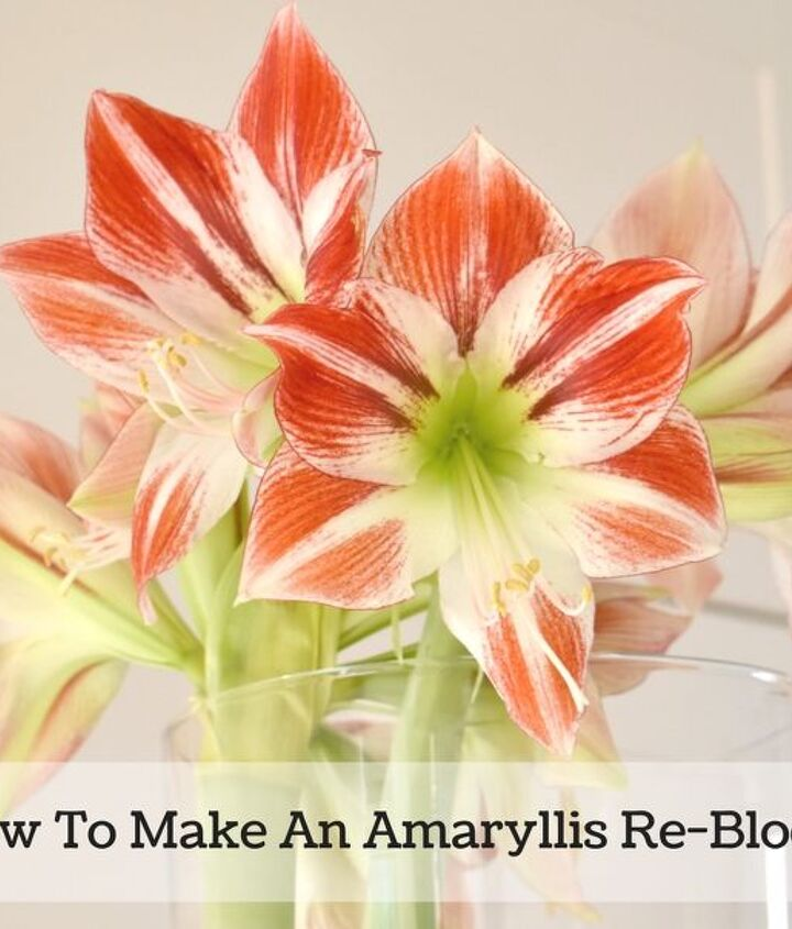 how to get an amaryllis to flower again re bloom, gardening, how to