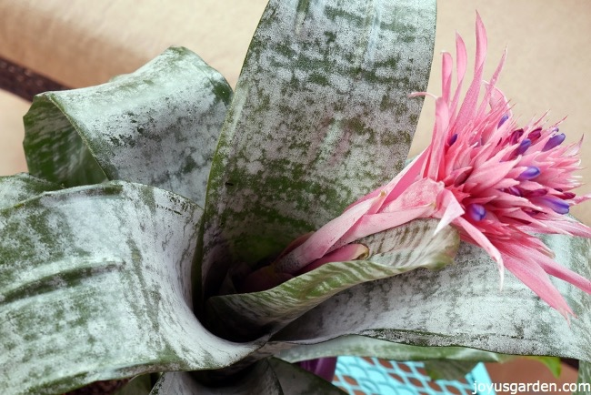 aechmea plant care tips the bromeliad with the pink flower, gardening