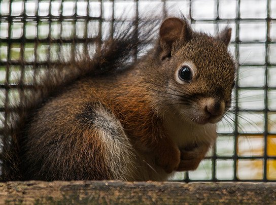 q this may sound crazy but need to get rid of squirrels