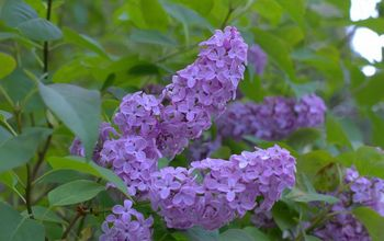 how to grow lilacs, flowers, gardening, how to