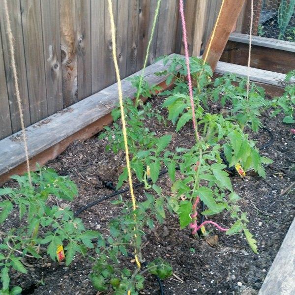 training tomato plants with rope, gardening